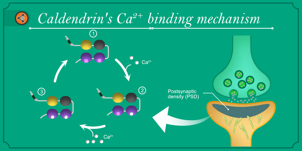 Caldendrin calcilum binding mechanism feature image