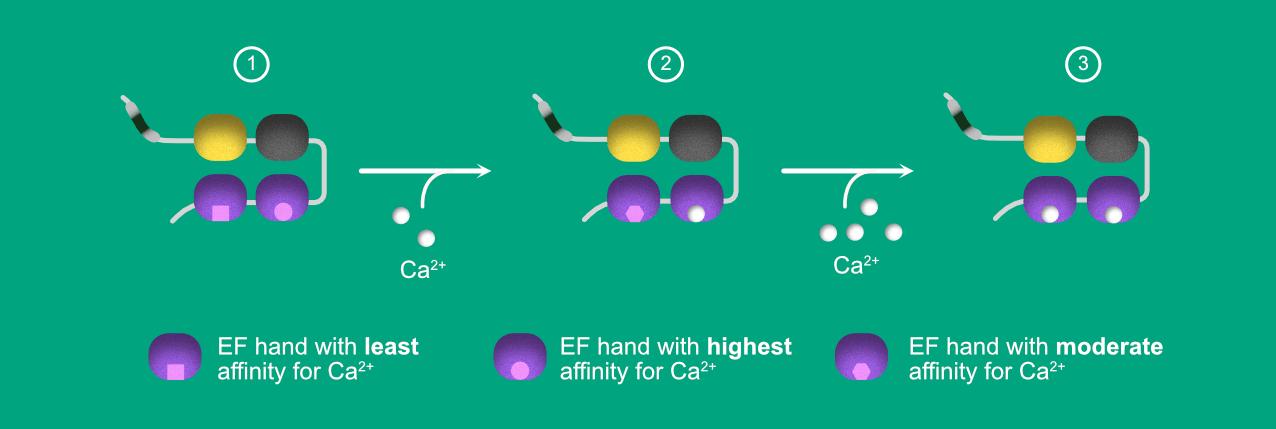 illustration depicting Caldendrin's calcium binding mechanism