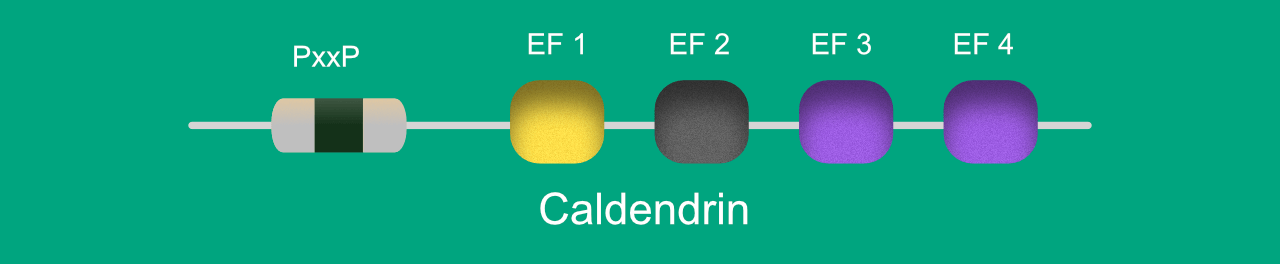 Illustration depicting the structure of caldendrin