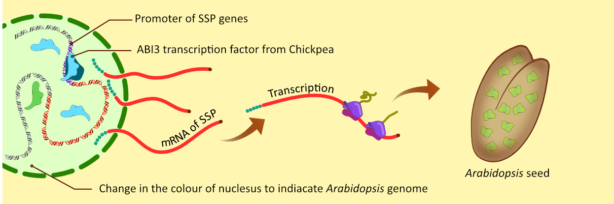Illustration showing Over expression of Chickpea ABI3 in Arabidopsis leads to higher protein content in seeds