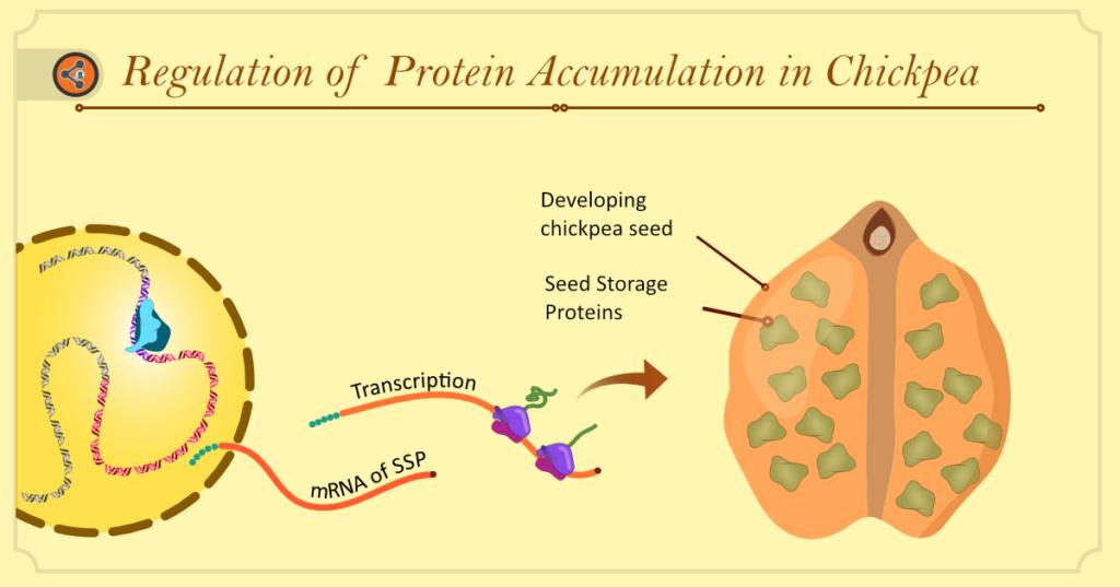 Hero Image. regulation of protein accumulation in Chickpea
