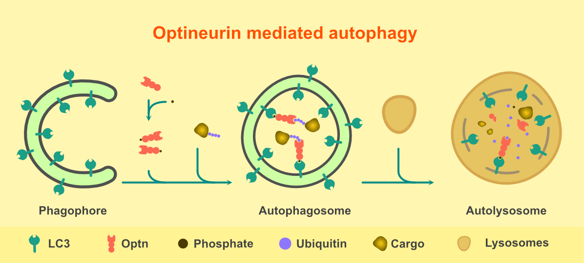 Steps involved in Optineurin mediated autophagy