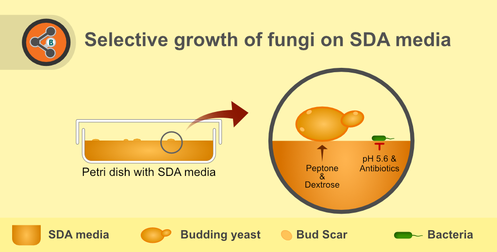 Illustration depicting the principle of Sabouraud Dextrose Agar (SDA) or Sabouraud agar media.