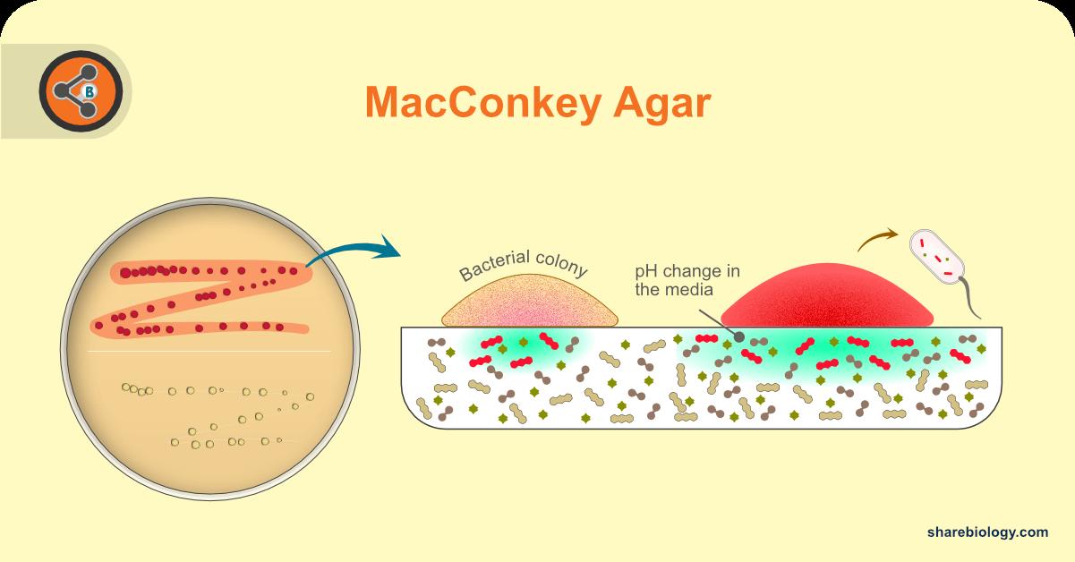 macconkey agar hero image