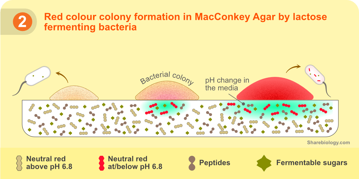 Principle of MacConkey agar