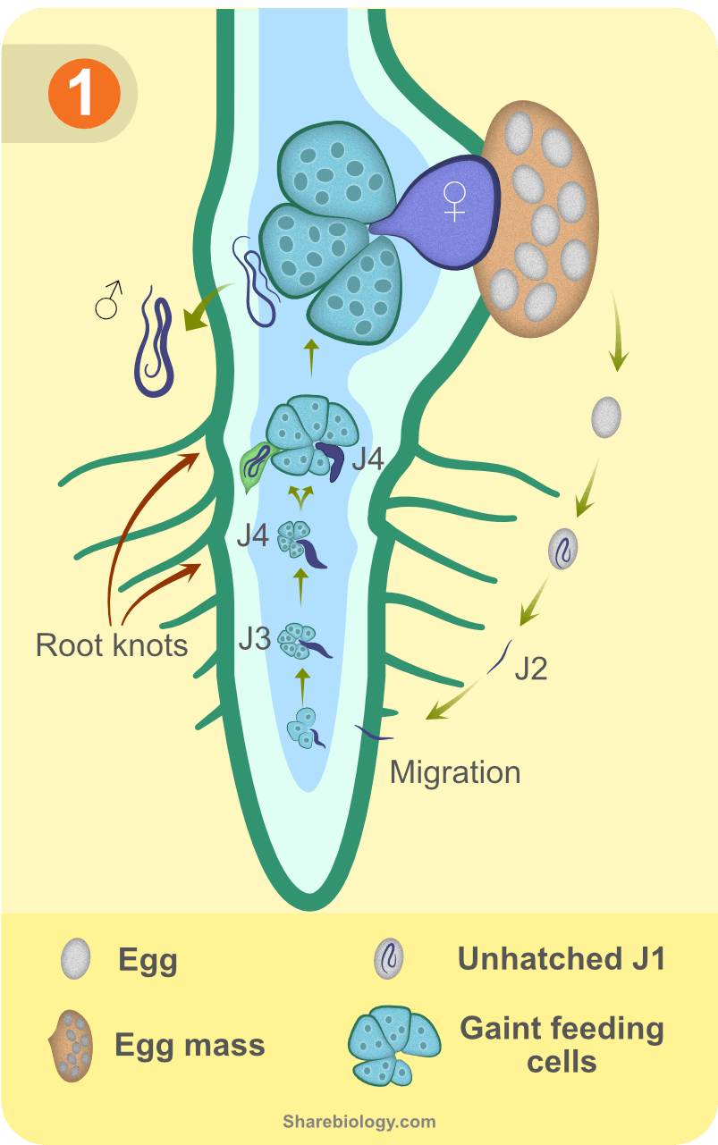 Root-Knot nematode life cycle