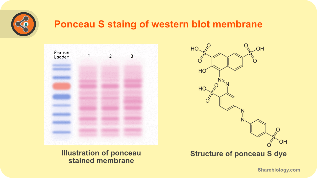 Illustration depicting the ponceau S staining in western blot (left) and structure of ponceau S stain.
