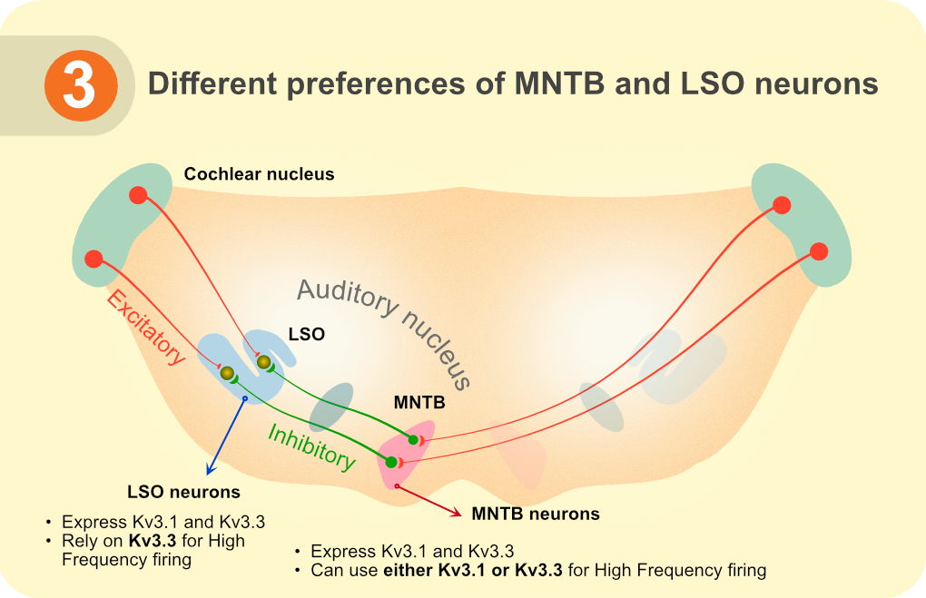 Different preferences of MNTB and LSO neurons