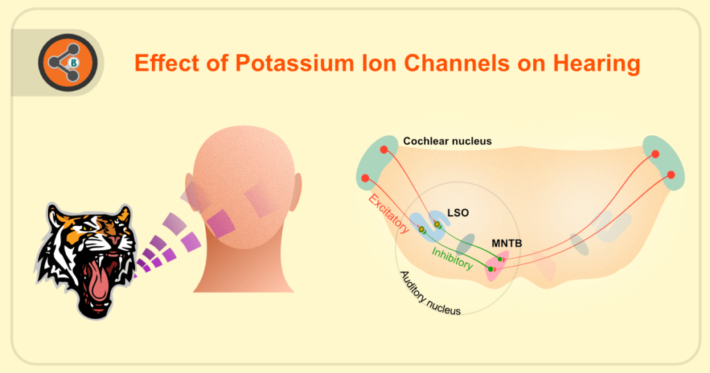 Title Image of Effect of Potassium Ion Channels on Hearing