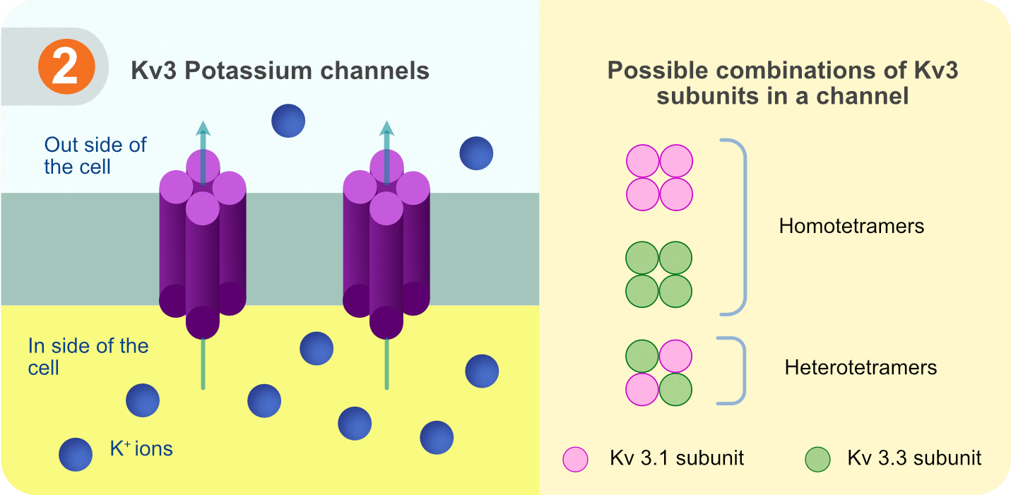 Kv3 potassium channels