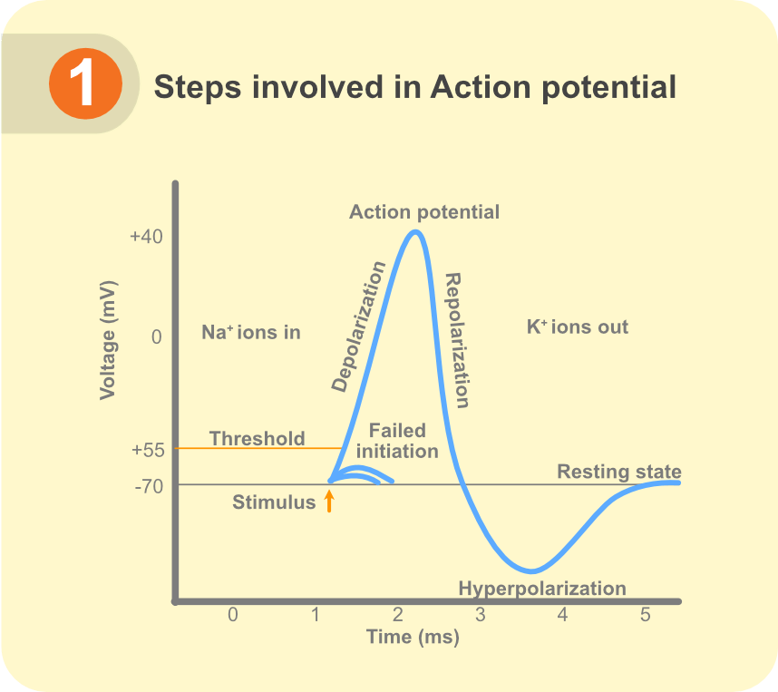 Steps involved in action potential