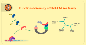 Functional diversity of SMAX1-Like family