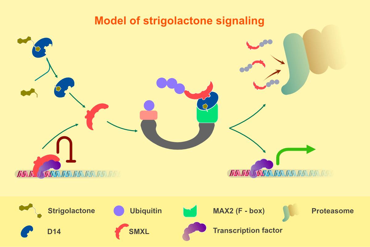 Model of strigolactone signaling