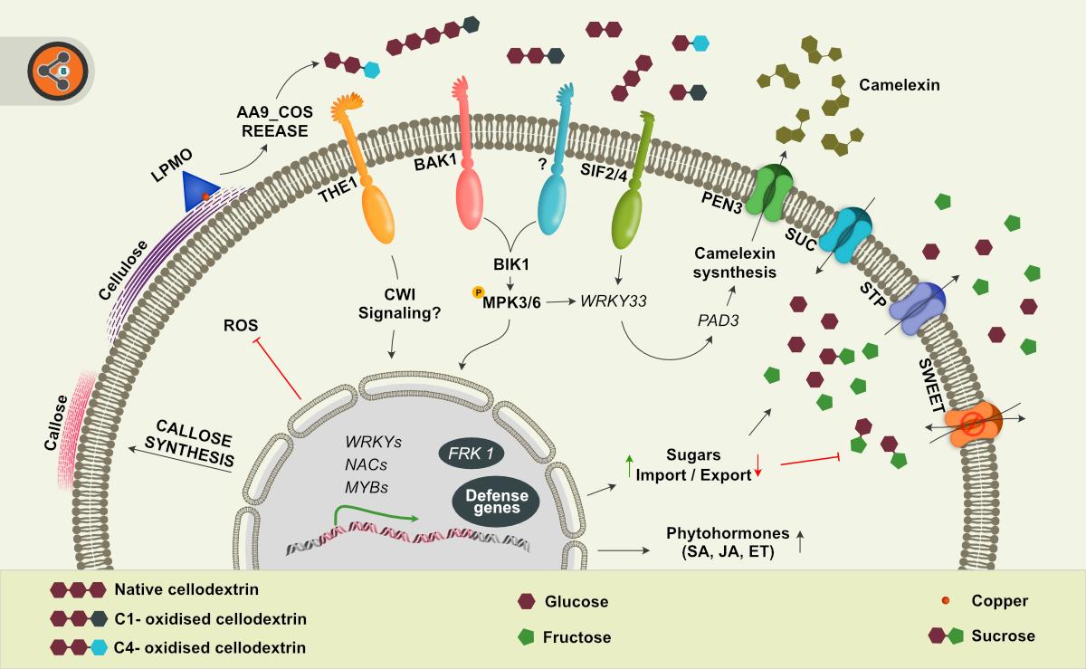 Illustration of LPMO-derived oligosaccharides perception.